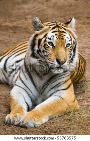 Bengal Tiger Relaxes - stock photo