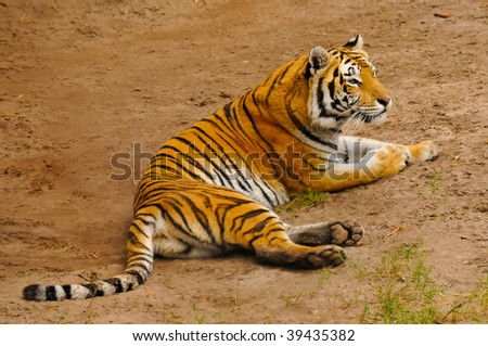Bengal Tiger Resting - stock photo
