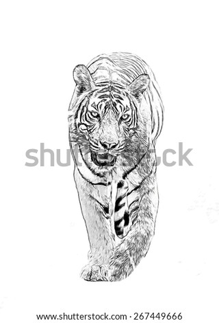 Bengal tiger running Panthera tigris  - stock photo