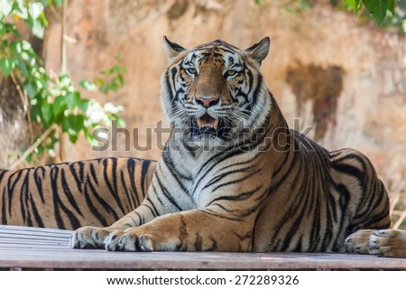Bengal tiger sitting on the wooden - stock photo