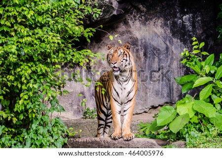 Bengal tiger standing, formidable