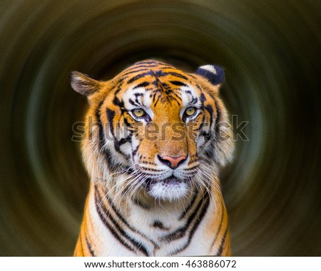 Bengal Tiger swimming show head and Looking at the faces of sight