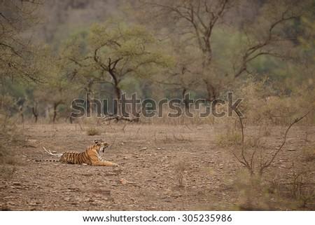 Bengal tiger/Tiger cub/Ranthambhore - stock photo