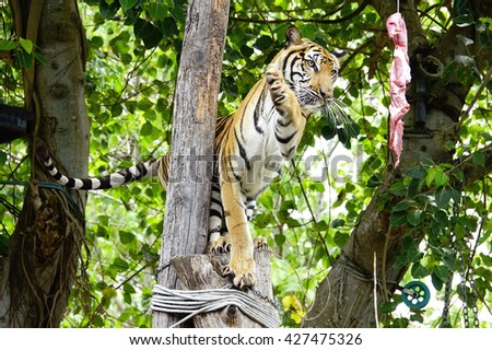 Bengal tiger with blurry  background on nice day:Select focus with shallow depth of field.