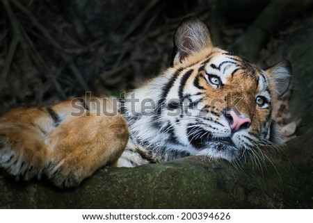 Bengal tigers sleep in zoo. - stock photo