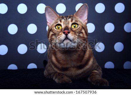 Bengalensis cat is isolated on a black and white background - stock photo