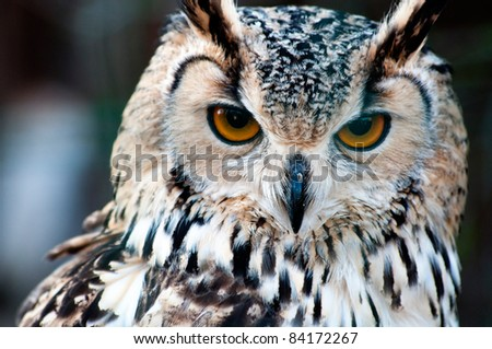 Bengalese Eagle Owl (Bubo bengalensis) close-up portrait - stock photo