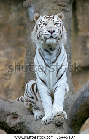 Bengalese tiger - stock photo