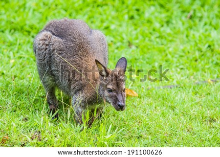 Bennet's wallaby - Red kangaroo - stock photo