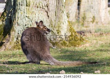 Bennett-kangaroo - stock photo
