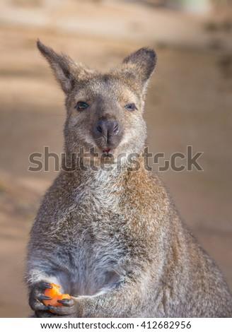 Bennett kangaroos - Closeup series - stock photo
