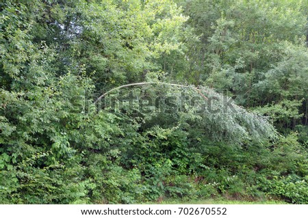 bent birch tree at forest edge