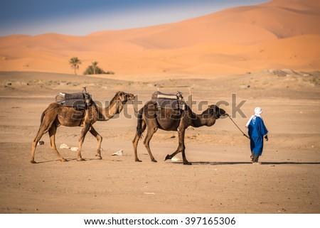 Berber man leading camel caravan, Hassilabied, Sahara Desert, Morocco - stock photo