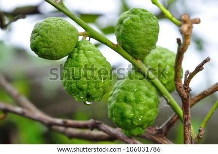 bergamot fruits - stock photo