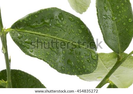 Bergamot (kaffir lime) leaves wiht water drop isolated on white background. - stock photo