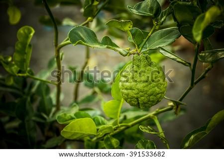 Bergamot on Tree in gaden - stock photo