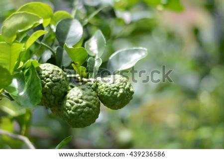 Bergamot on Tree in garden - stock photo