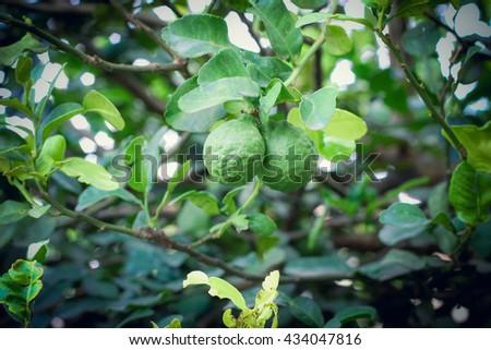 Bergamot on Tree, selective focus - stock photo