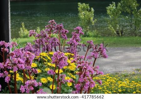 Bergenia and daisies scenic - selective focus - stock photo
