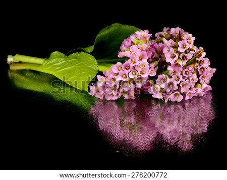 Bergenia flowers on a black background with reflection - stock photo