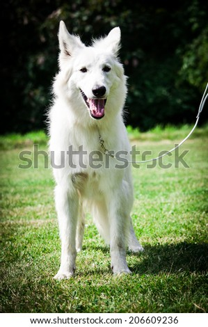 Berger Blanc Suisse,  - stock photo