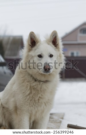 Berger Blanc Suisse - stock photo