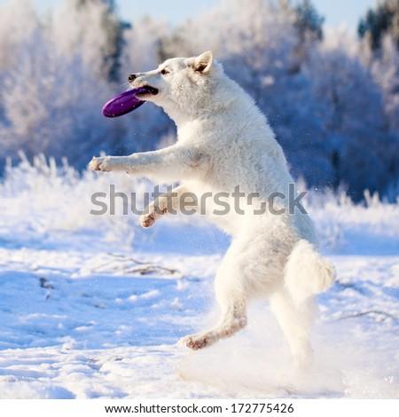 Berger Blanc Suisse Shepherd dog - stock photo