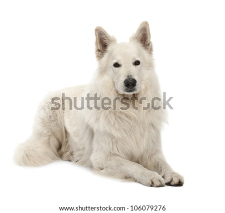 Berger Blanc Suisse, 5 years old, portrait against white background