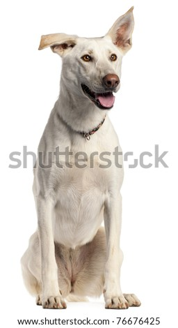 Berger Blanc Suisse, 3 years old, sitting in front of white background - stock photo