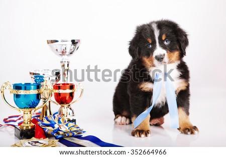 Bern Mountain Dog - stock photo