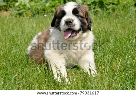 bernard puppy - stock photo