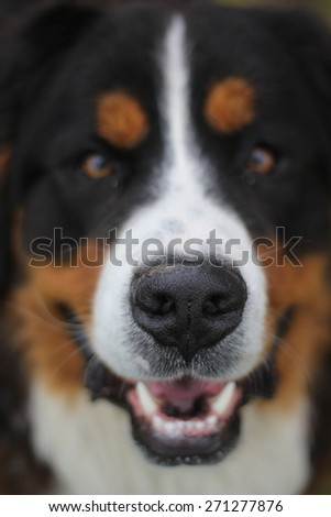 Bernese Mountain Dog and detail his nose  (shallow DOF). - stock photo
