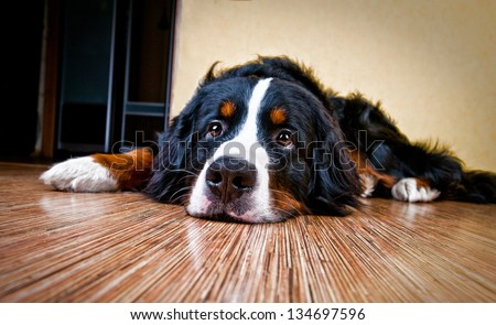 Bernese mountain dog (Berner Sennenhund) in studio - stock photo