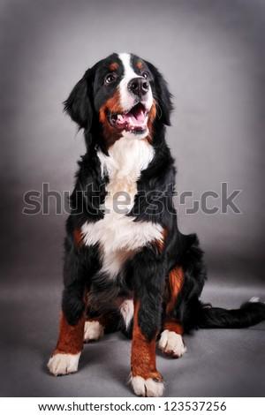 Bernese mountain dog (Berner Sennenhund) puppy in studio - stock photo