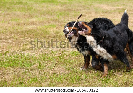 Bernese mountain dog (bernese sennenhund): happy couple in the countryside - stock photo