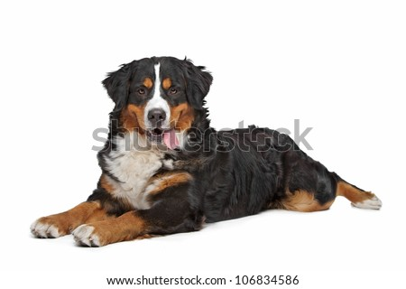 Bernese Mountain Dog in front of a white background