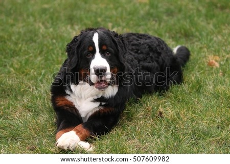 Bernese Mountain Dog in Grass