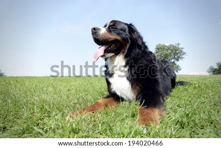Bernese Mountain Dog in the park - stock photo