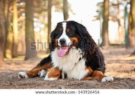 Bernese mountain dog lying - stock photo