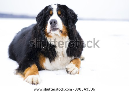 Bernese mountain dog lying in the snow (white background)