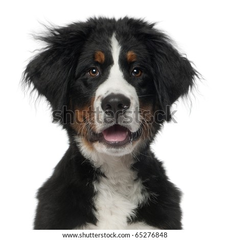Bernese Mountain Dog, 5 months old, in front of white background - stock photo