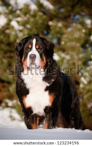 bernese mountain dog portrait outdoors - stock photo