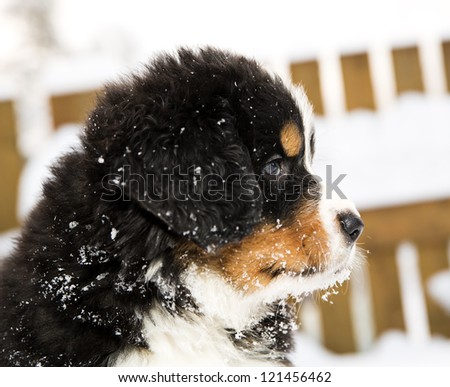 Bernese mountain dog puppet looking curiously different way - stock photo
