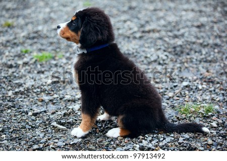 Bernese mountain dog puppy - stock photo