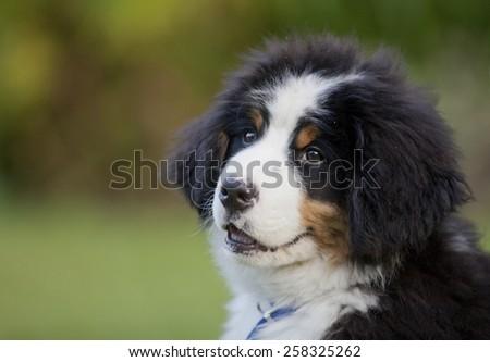 Bernese Mountain dog puppy ,in a garden, Britain - stock photo