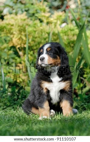 Bernese Mountain Dog puppy portrait in garden - stock photo