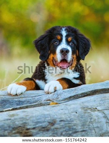 Bernese Mountain Dog Puppy resting on a tree out in nature - stock photo