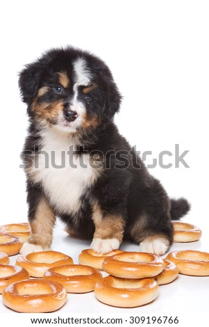 Bernese Mountain Dog puppy sitting and looking at the camera (isolated on white) - stock photo