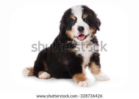 Bernese Mountain Dog puppy sitting and looking at the camera (isolated on white)