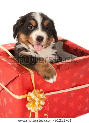 Bernese mountain dog puppy sitting in a christmas present